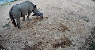 ولادة وحيد قرن نادر مهدد بالانقراض في أستراليا