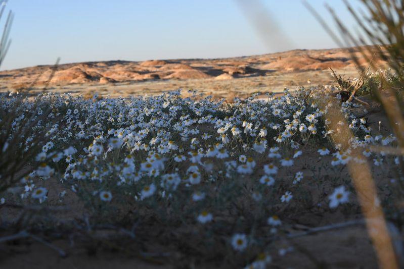 شاهد.. بوادر الربيع تستهل بساطها الأخضر بـ زهرة الأقحوان - المواطن