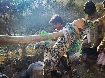 الحياة الفطرية عن فيديو صيد النمر العربي: في اليمن - المواطن