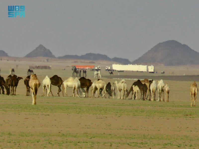 صحاري شمال وادي الدواسر تكتسي بالأخضر1
