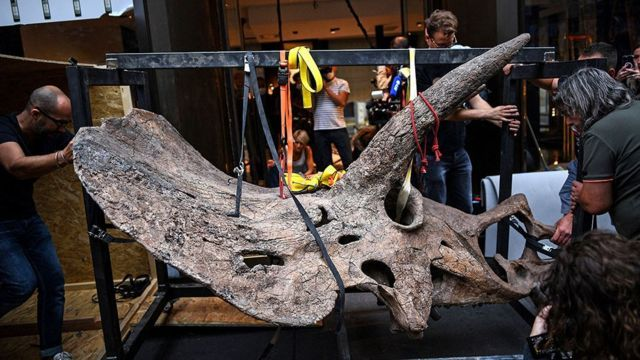 جمجمة ديناصور ثلاثي القرون