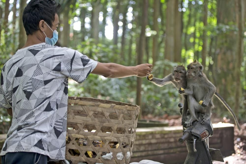 A worker feeds macaques during a feeding time at Sangeh Monkey Forest in Sangeh, Bali Island, Indonesia, Wednesday, Sept. 1, 2021. Deprived of their preferred food source - the bananas, peanuts and other goodies brought in by the tourists now kept away by the coronavirus - hungry monkeys on the resort island of Bali have taken to raiding villagers' homes in the search for something tasty. (AP Photo/Firdia Lisnawati)