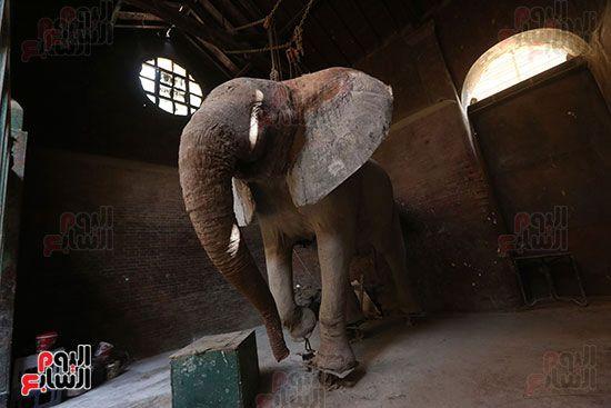الفيلة نعيمة (1)