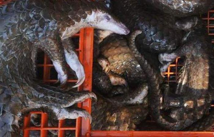 بعد كورونا.. الصين تحظر تجارة أو صيد 517 نوعاً من الحيوانات البرية