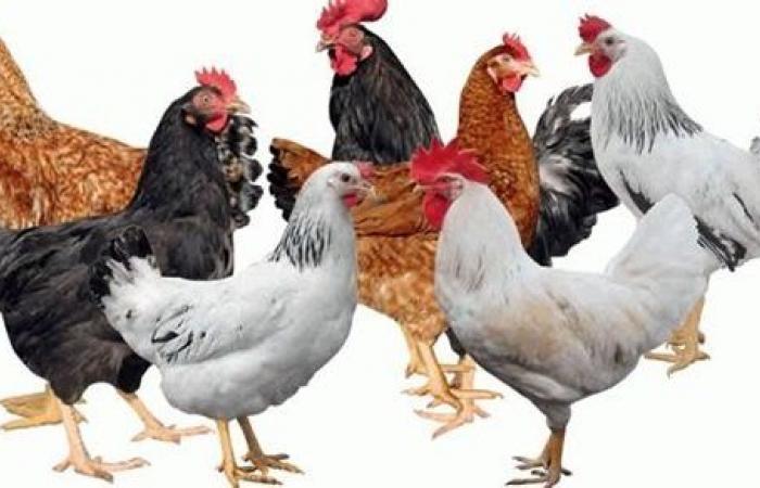 كيلو البط بـ 24 جنيها.. ننشر أسعار الدواجن والبيض والأرانب والبط