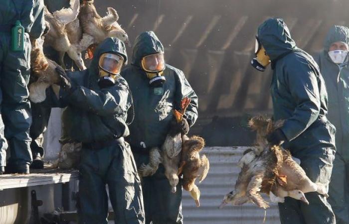 """""""نفوق 50 ألف""""... دولة عربية تكتشف بؤرة لسلالة إنفلونزا الطيور"""
