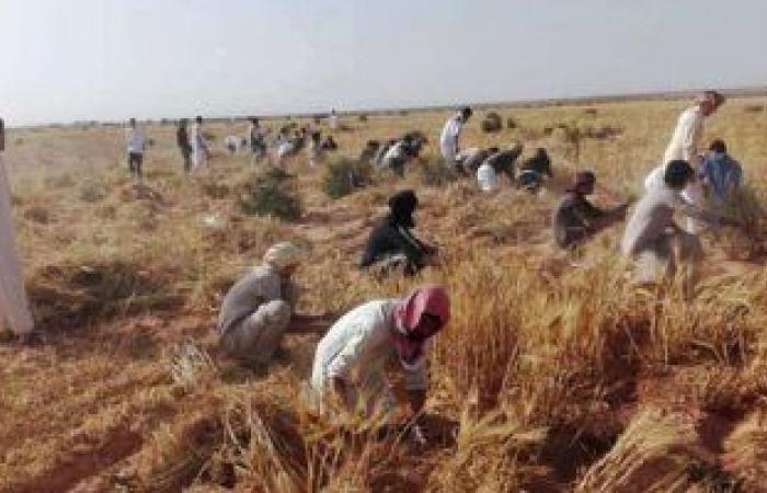 تعرف على حجم إنتاج مصر من محاصيل الأرز والقمح والطماطم والبطاطس.. إنفوجراف