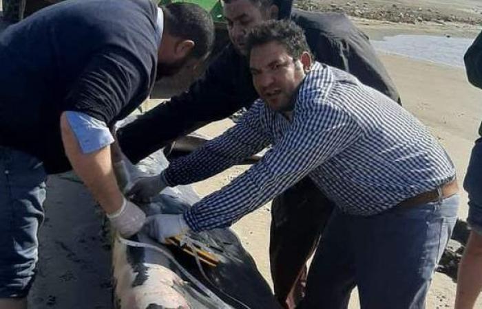 وزنها 12 طنا.. العثور على أنثى حوت نافقة بكفر الشيخ | صور