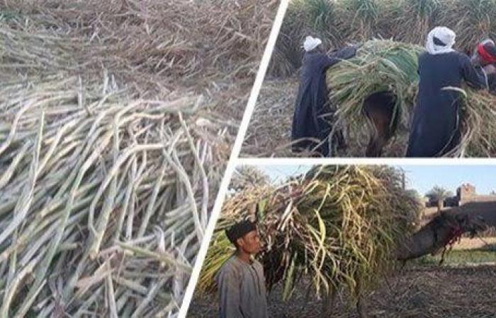 متحدث الزراعة: زيادة مساحات البنجر واستحداث طرق لري القصب