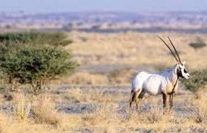 القوات الخاصة للأمن البيئي: مقطع صيد الظبي قديم وخارج السعودية
