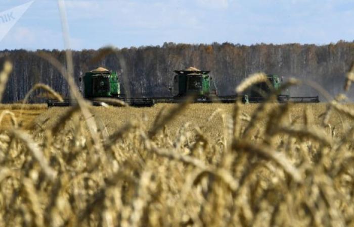 علماء روسيا يعيدون النظر في تكنولوجيا إنماء محاصيل القمح لزيادة الإنتاج