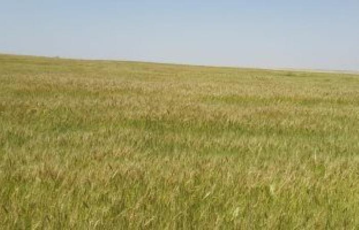 معهد أمراض النبات بوزارة الزراعة: حالة محصول القمح جيدة ومبشرة