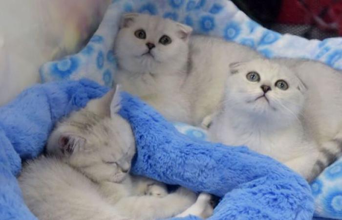 منبه عضوي... لقطات نادرة لقطط توقظ أصحابها بطرق مضحكة... فيديو
