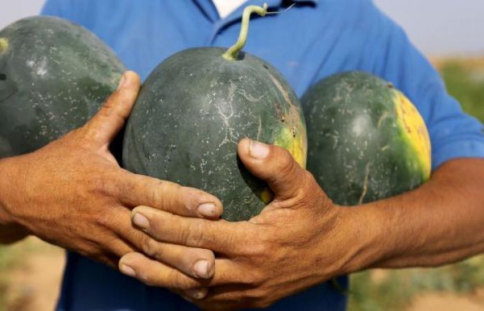 فوائد سحرية للبطيخ... كيف يمكن انتقاء أفضل ثمرة