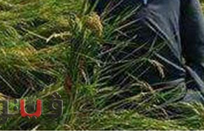 الفلاحين: زراعة مليون و74 ألف فدان أرز بـ 9 محافظات