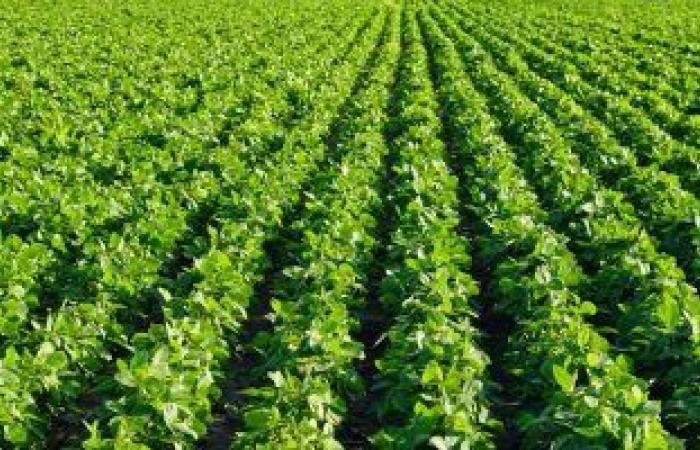 5 توصيات من الزراعة يجب اتباعها عند زراعة فول الصويا