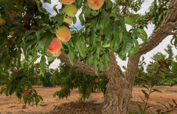 الزراعة تطلق حملة جربها في موسمها : الخير والنماء يملأ ربوع الوطن