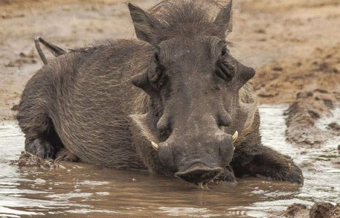 الخنازير البرية تجتاح روما وعمدة العاصمة تستنكر... فيديو