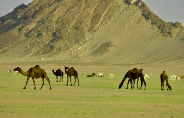 صحراء وسهول وادي الدواسر تكتسي اللون الأخضر