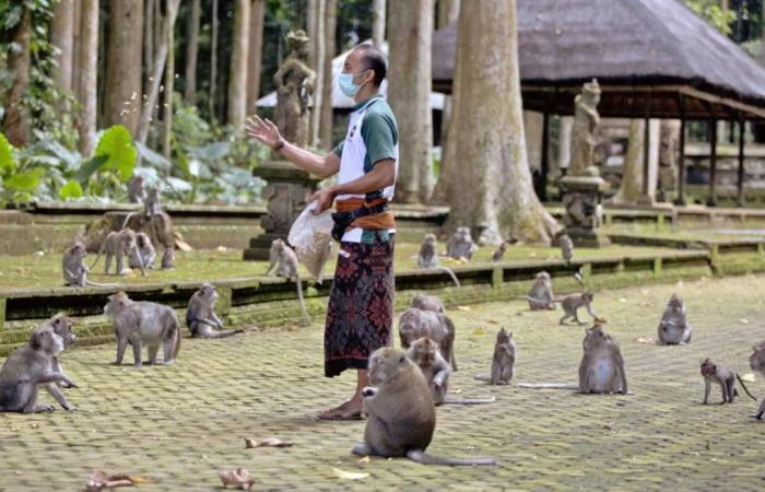 بالصور.. قرود في إندونيسيا تغزو البيوت بحثًا عن الطعام