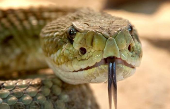 شاب فلسطيني يربي أخطر وأضخم أنواع الثعابين في منزله... فيديو